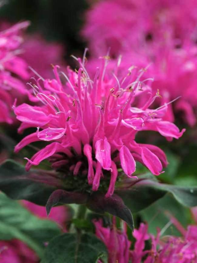 Monarda Balmy Rose
