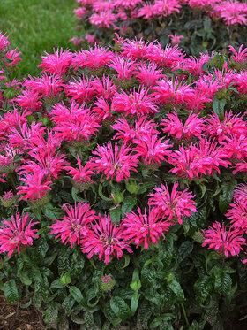 Photo of Monarda Electric Neon Pink
