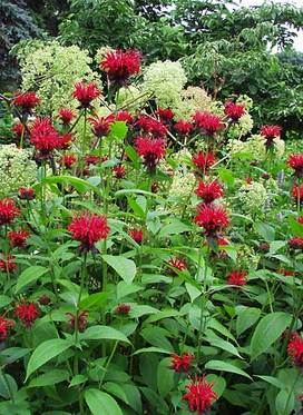 Blazing red flowers; mildew resistant foliage