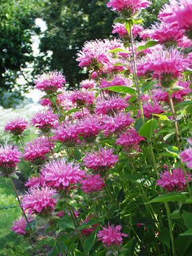 BEE BALM. Clear pink