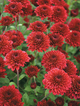 Red Cushion mum - medium height