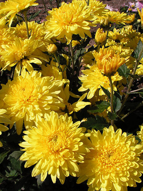 Bright yellow Large flowered mum