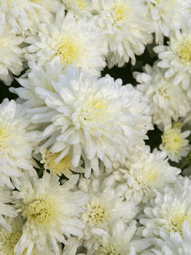 White Cushion mum