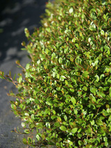 Muehlenbeckia Little Leaf
