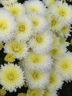 White with yellow center Cushion mum