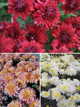 Collection of 3 cushion mums