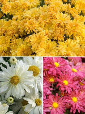 Collection of 3 daisy mums
