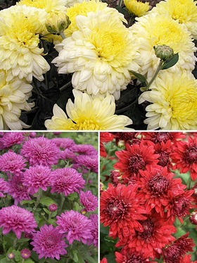 Collection of 3 garden mums