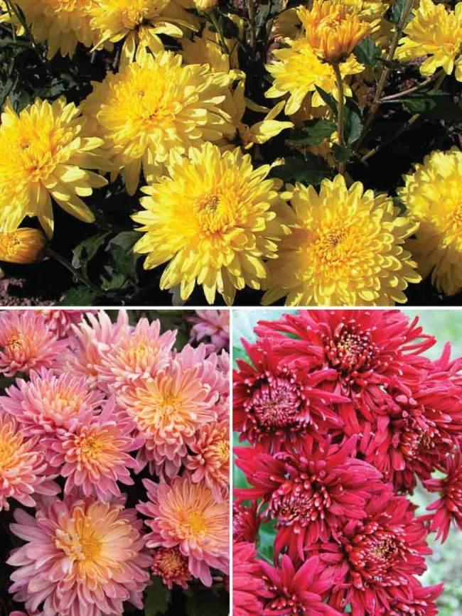 Mum Large-Flowering-Mum-Collection