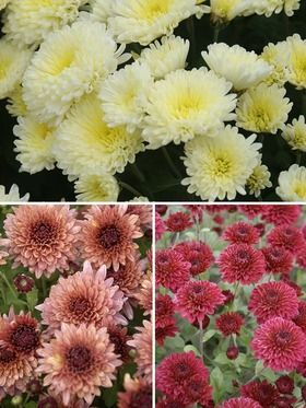 Collection of 3 spectacular cushion mums