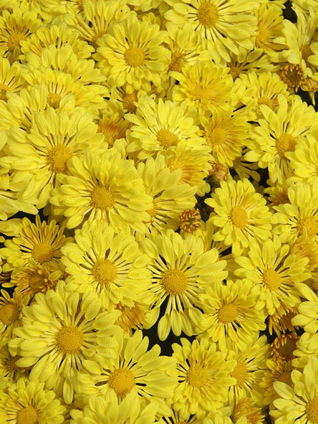 Mum Yellow-Starlet