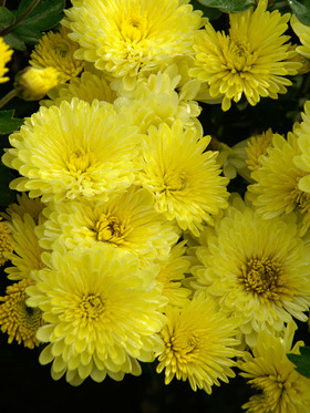 Cheery yellow mums sparkle in the fall garden