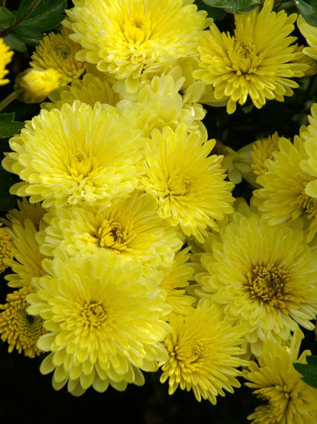Mum Yellow-Valour