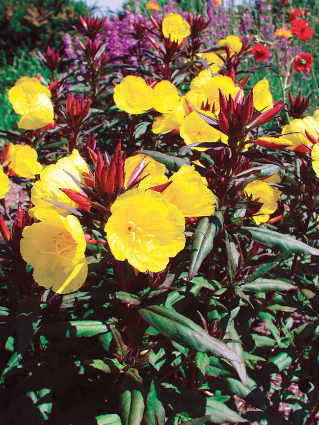 Oenothera Summer-Solstice