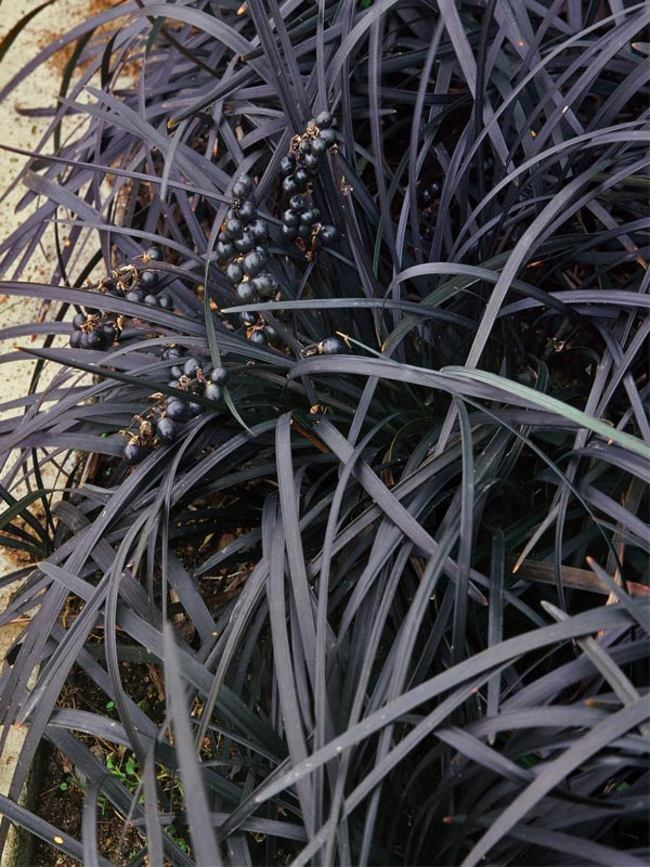 Ophiopogon Nigra