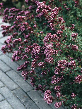 ORNAMENTAL OREGANO. Dark red-violet flowers in late summer.