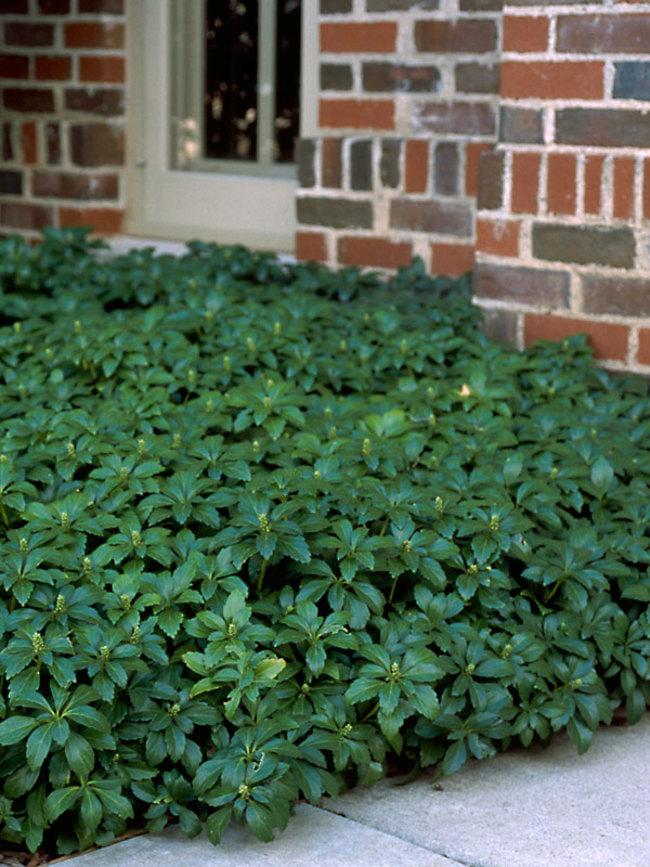 Pachysandra Green-Carpet