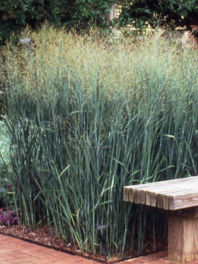 Panicum Heavy Metal Bluestone Perennials