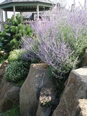 Silvery blue. RUSSIAN SAGE. Semi-woody plants. Airily upright