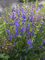 Penstemon Blue Buckle