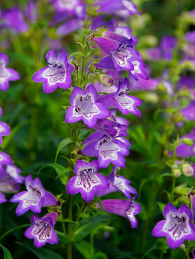 Photo of Penstemon Cha Cha Lavender