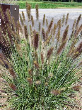 Photo of Pennisetum Cayenne