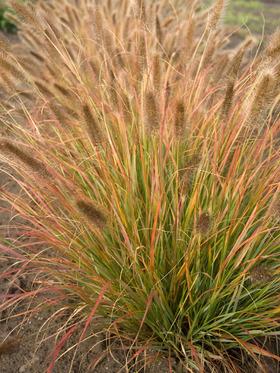 Pennisetum Desert Plains Bluestone Perennials