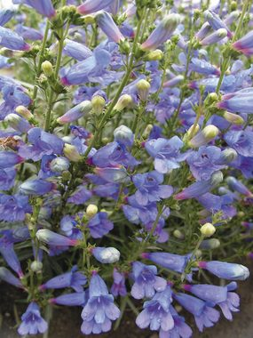 Flowering spikes with trumpets of vivid blue. Carefree, drought resistant
