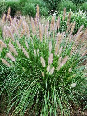 Photo of Pennisetum Etouffee