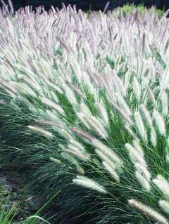 Grasses   Bluestone Perennials