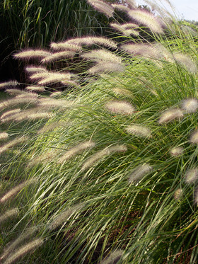 DWARF FOUNTAIN GRASS. 18-30""