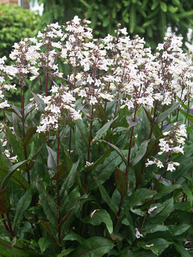 White  flushed pink flowers. Maroon undersides to leaves