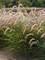 Pennisetum Karley Rose