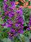 Penstemon Pristine Lilac Purple