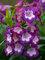 Penstemon Polaris Purple