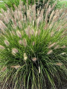 Photo of Pennisetum Praline