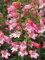 Penstemon Quartz Rose