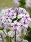 Phlox Fashionably Early Lavender Ice