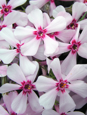 Excellent pale pink creeping phlox