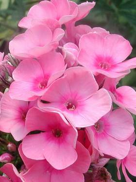 Heavy flowering with baby pink flowers and a deep rosy pink eye.