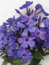 Phlox Bill's Blue