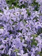 Phlox Clouds of Perfume