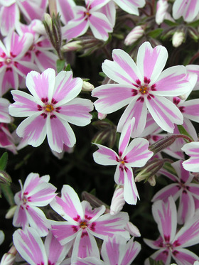 Pink and white blooms glow