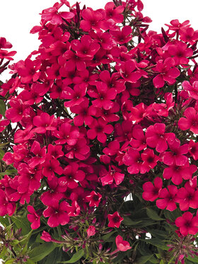 Photo of Phlox Early Red
