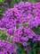 Phlox Flame Purple