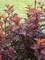 Physocarpus Ginger Wine
