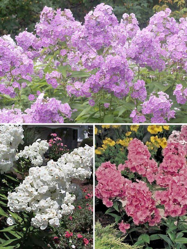 Phlox Garden-Collection