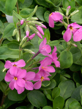 Deep pink fragrant flowers on masses of lush green foliage in spring.