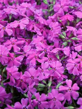 Photo of Phlox Spring Hot Pink
