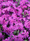 Phlox Spring Hot Pink